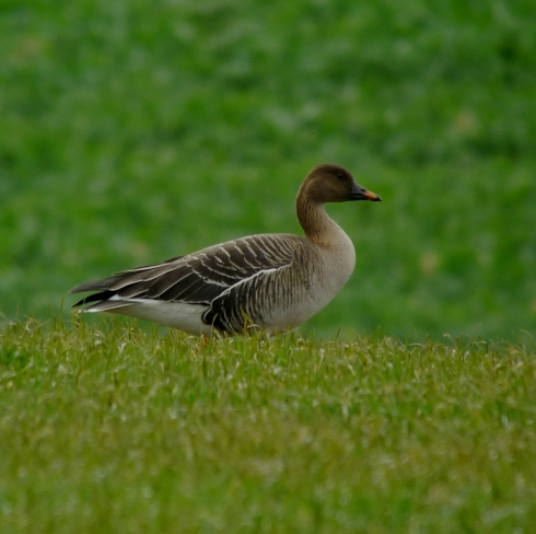 Tundra Bean Goose at Rimswell - Ade Johnson