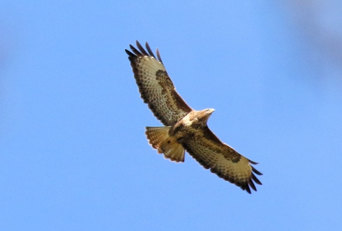 Common Buzzard over Wassand - Chris Cox