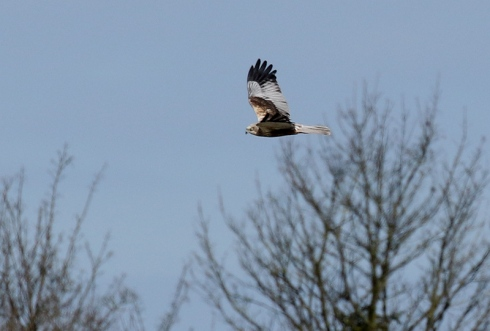 male Marsh Harrier from Wassand Hide - Chris Cox