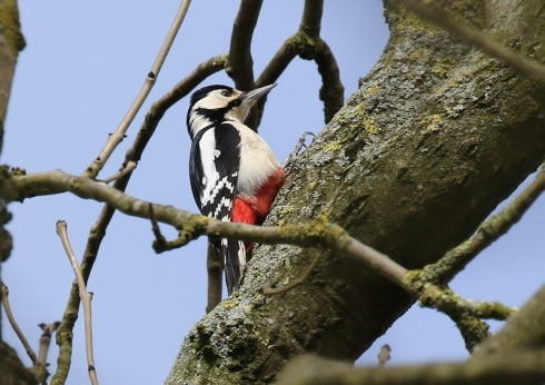 Great Spotted Pecker - Chris Cox