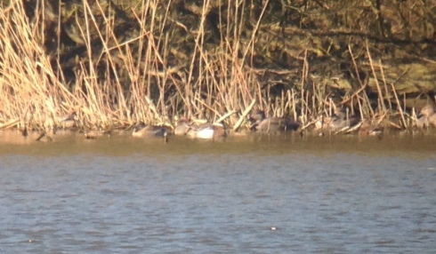distant drk Garganey in Decoy