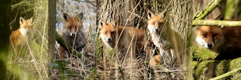 composite pic of a Fox in Wassand - Chris Cox