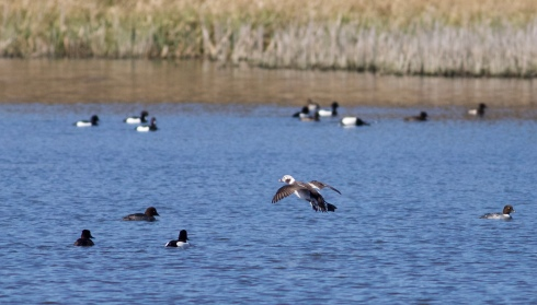Long-tailed Duck from Wassand Hide