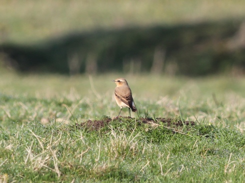 Wheatear in 1st field - Jeff Cox