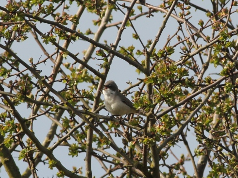 Lesser Whitethroat - Jeff Cox