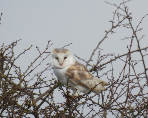 Barn Owl at Cowden - Jeff Cox