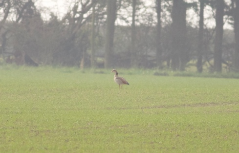 Egyptian Goose Southorpe Fields