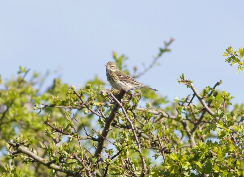 Meadow Pipit at Ouzel Hedge