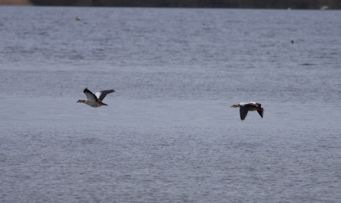 Egyptian Geese over Mere