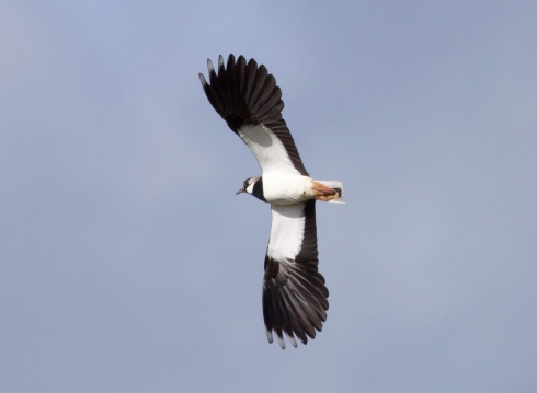 Lapwing from Southorpe