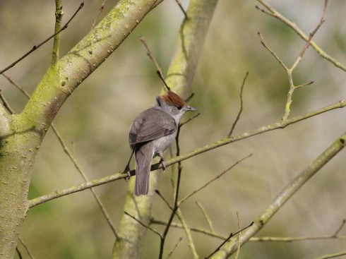 Blackcap in Wassand - Jeff Cox