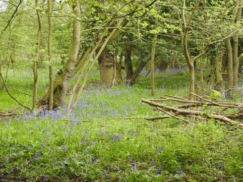 Bluebells along the Wassand Wood walk - Jeff Cox