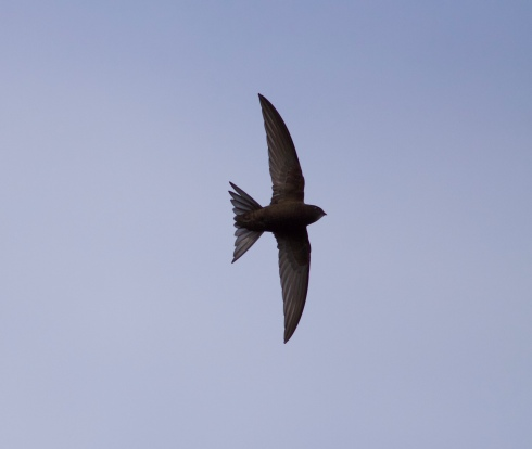 Common Swift from Kirkholme Point
