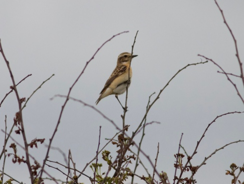 Whinchat at Cowden