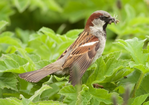 House Sparrow on Kirkholme Point
