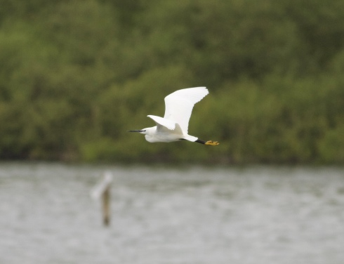 Little Egret from Kirkholme Point