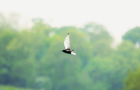 White-winged Black Tern off KP - Alan Elkin