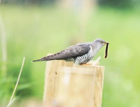 Cuckoo - Alan Elkin