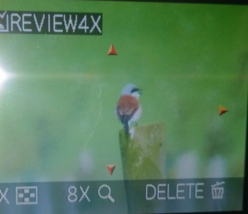back of the camera shots of  Grimston male Red-backed Shrike
