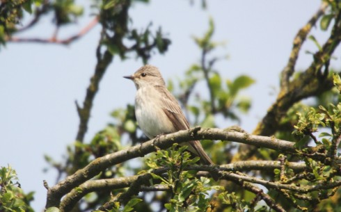Spotted Flycatcher in 1st field - Alan Elkin