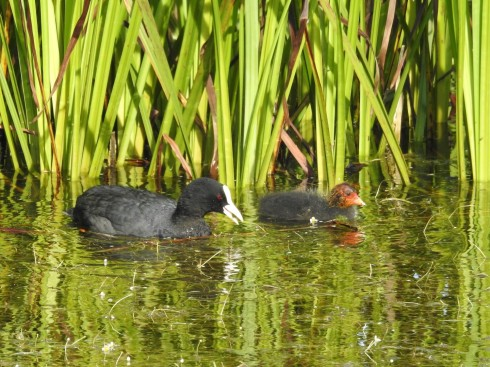 Coot with young from Wassand hide - Jeff Cox