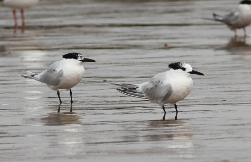 Sandwich Terns - Jeff Cox