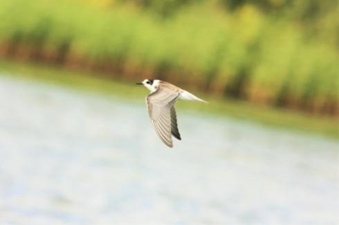juv Black Tern - Alan Elkin
