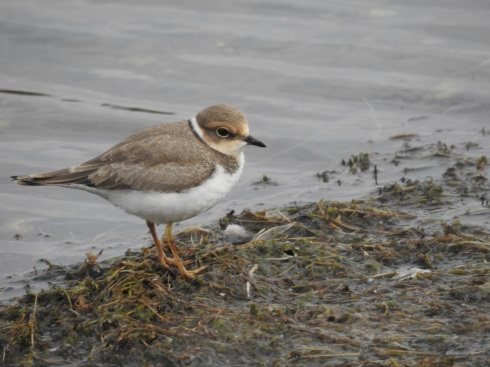 Little Ringed Plover on KP - Jeff Cox