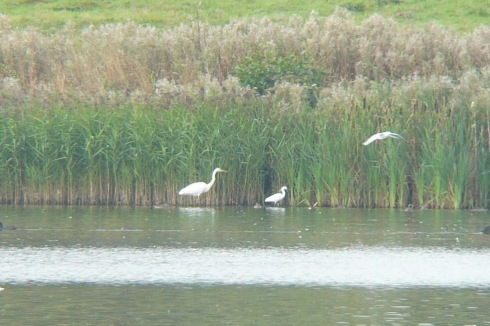 GW Egret annually recorded for several years now at the Mere - Tim Isherwood