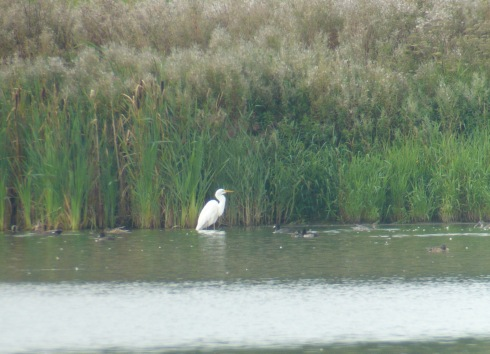 Great White Egret off 1st field viewed from KP - Tim Isherwood