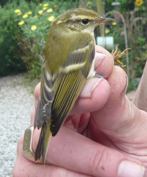 Yellow-browed Warbler at Grimston - Tim Isherwood
