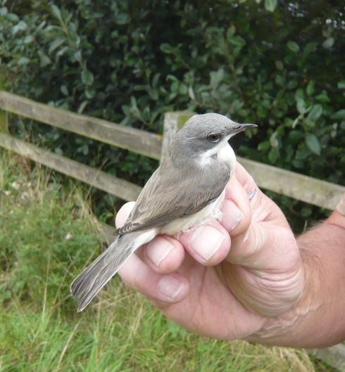 Lesser Whitethroat at Grimston - Tim Isherwood