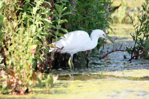 Little Egret around KP - Alan Elkin