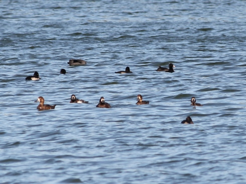 5 Scaup on the Mere - Jeff Cox