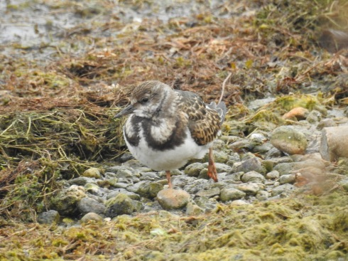 Turnstone on KP - Jeff Cox