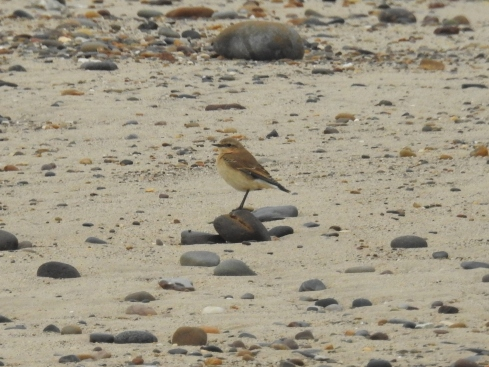 Wheatear on beach - Jeff Cox
