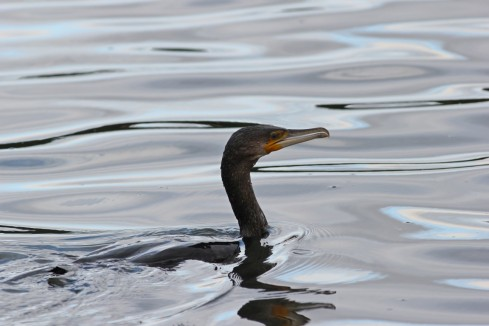 Cormorant from Wassand Hide - Jeff Cox