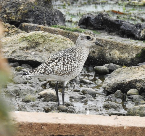 Grey Plover on KP - Alan Elkin