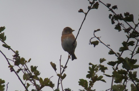 Brambling at Grimston - Tim Isherwood