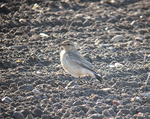 phonescoped Isabelline Wheatear at Easington