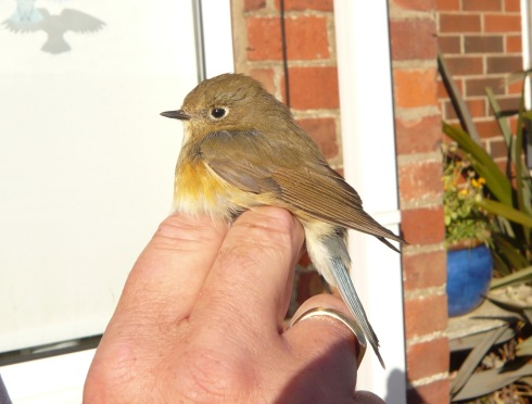 Red-flanked Bluetail at Grimston - Tim Isherwood