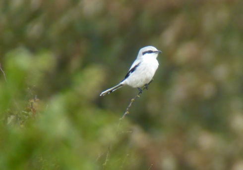 a brief Great Grey Shrike in at Grimston - Tim Isherwood