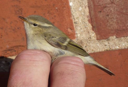 Hume's Warbler, a new bird for Grimston - Tim Isherwood