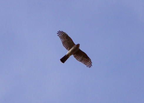 Sparrowhawk south at Cowden