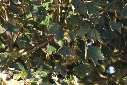 Yellow-browed Warbler at Cowden