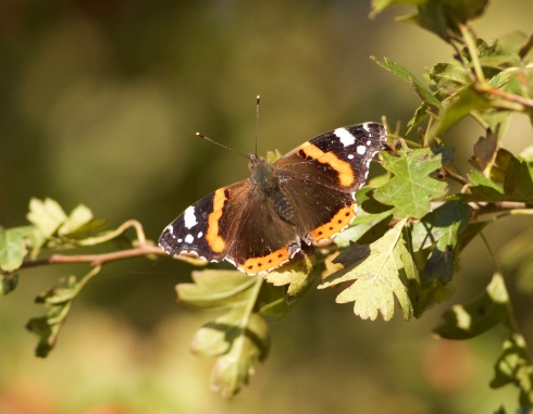 Red Admiral at Cowden