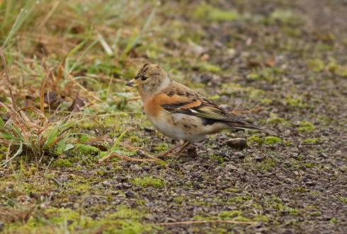 Brambling at Cowden