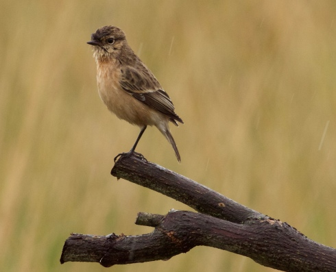 bedraggled Siberian Stonechat at Grimston