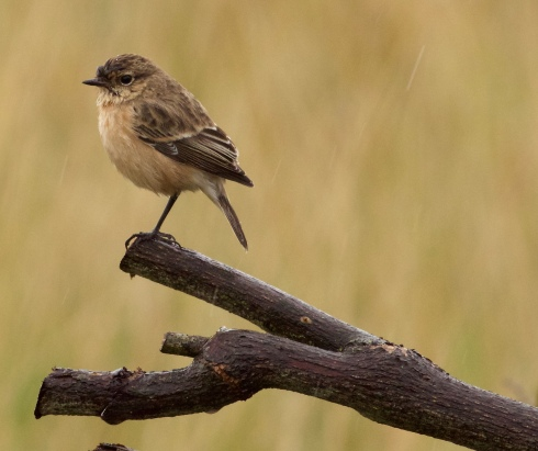 Siberian Stonechat, another first for the Grimston area