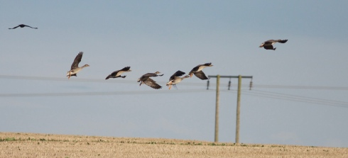 part of a group of 9 Tundra Bean Goose nr Holmpton/Out Newton